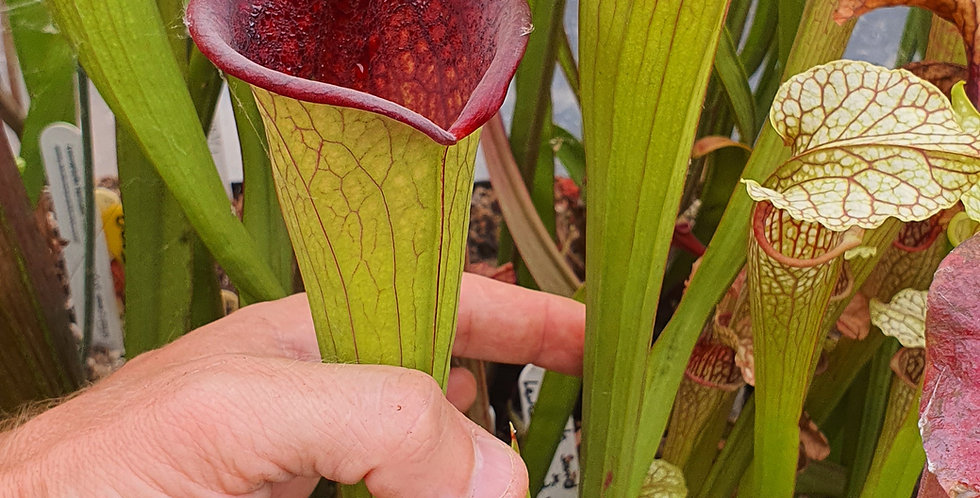 Moorei Pinkish top H87 MK x (Leucophylla x Moorei Adrian Slack clone L) ; CLONE1