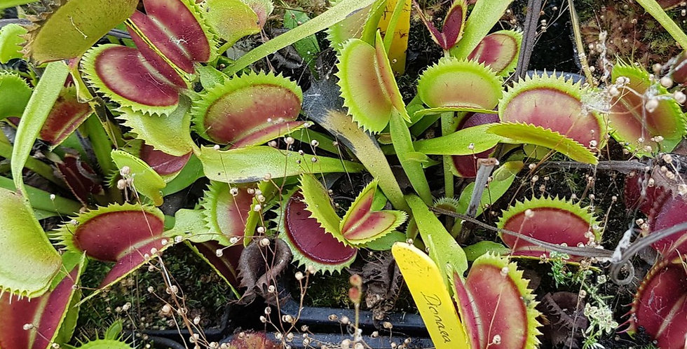 Dionaea M. SL014, Trev Cox