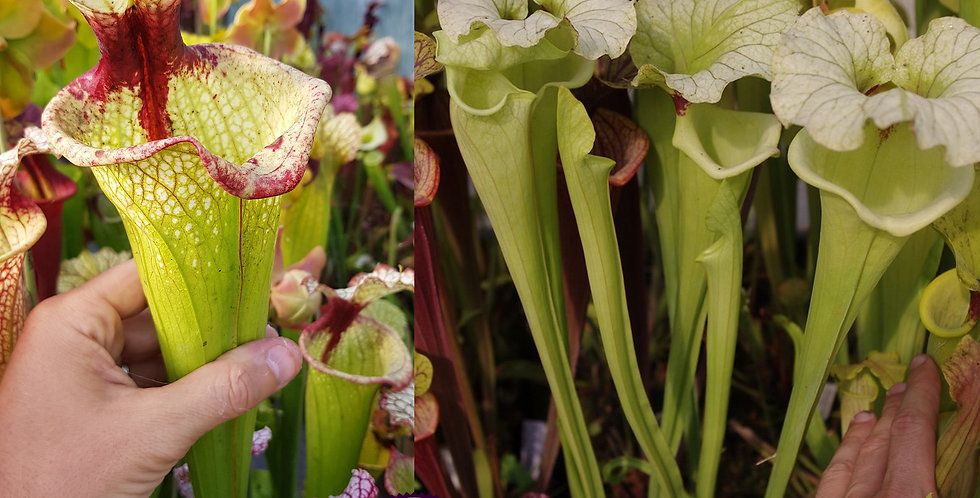 113) Pack of Sarracenia seeds 2019/2020, carnivorous plants rare