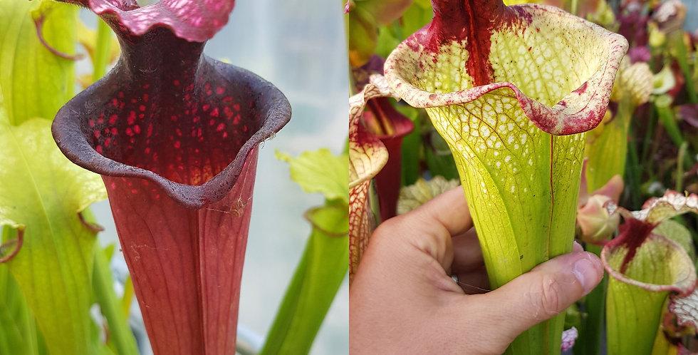 102) Pack of Sarracenia seeds 2019/2020, carnivorous plants rare