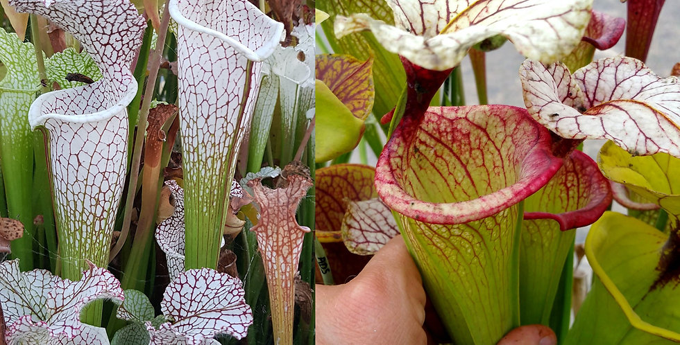 58) Pack of Sarracenia seeds 2019/2020, carnivorous plants rare