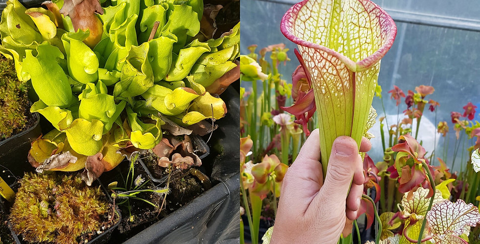 23) Pack of Sarracenia seeds 2019/2020, carnivorous plants rare