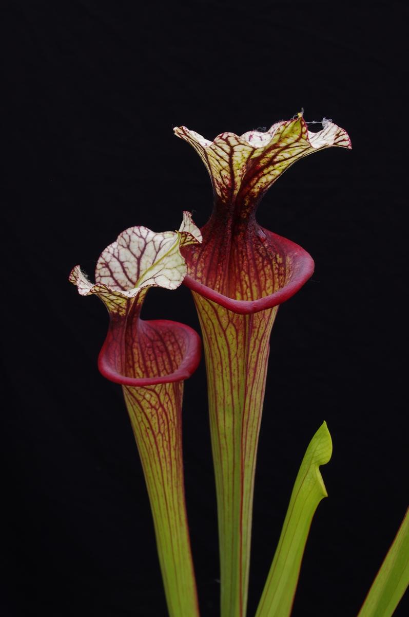 S. (Leucophylla x Flava var
