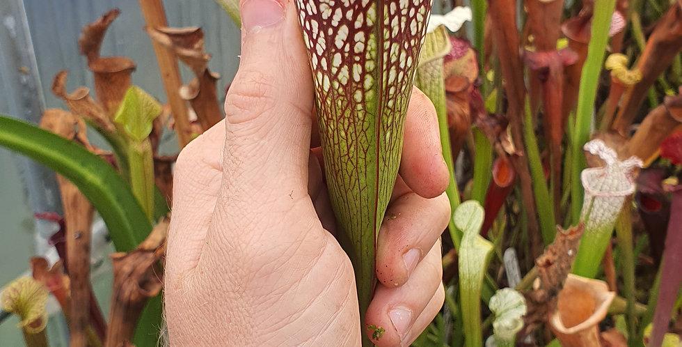 SA90 : Leucophylla purple and white x (Leucophylla x Oreophila)