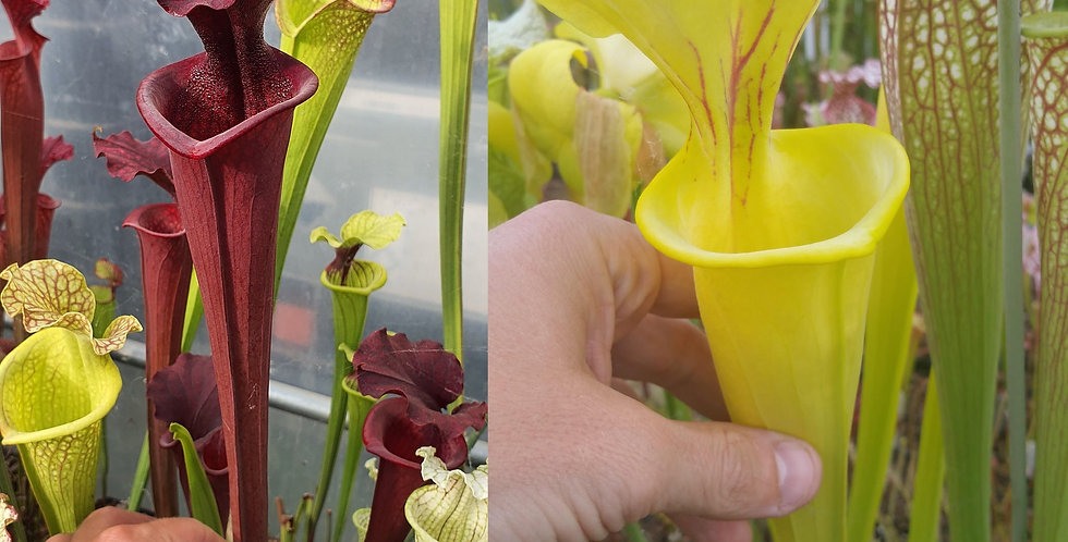 04) Pack of Sarracenia seeds 2020/2021
