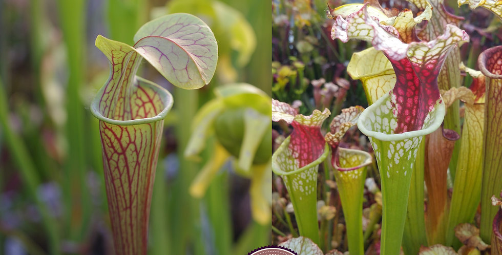 49) Pack of Sarracenia seeds 2019/2020, carnivorous plants rare