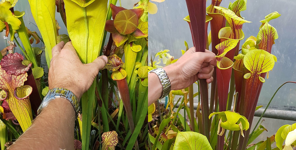 28) Pack of Sarracenia seeds 2019/2020, carnivorous plants rare