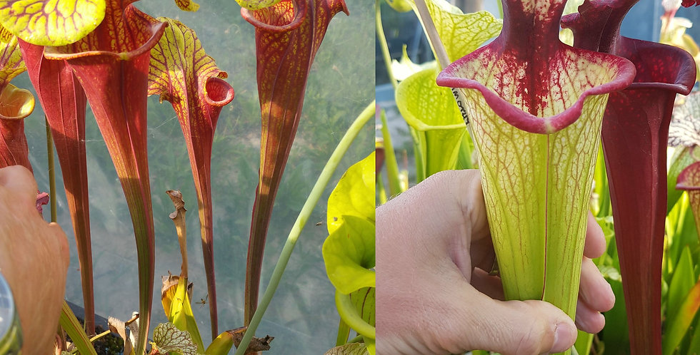 130) Pack of Sarracenia seeds 2020/2021