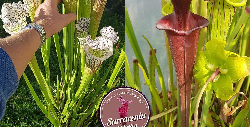 05) Pack of Sarracenia seeds 2020/2021