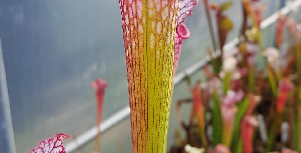 Leucophylla red flush pink