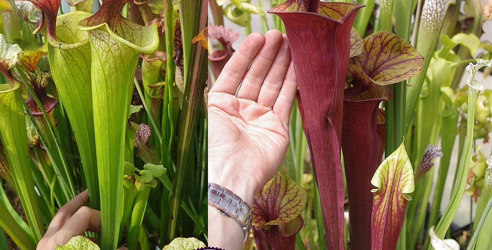 85) Pack of Sarracenia seeds 2019/2020, carnivorous plants rare