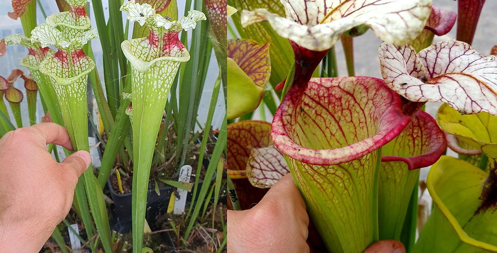 99) Pack of Sarracenia seeds 2020/2021