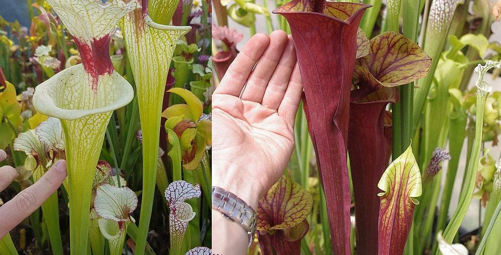 32) Pack of Sarracenia seeds 2019/2020, carnivorous plants rare