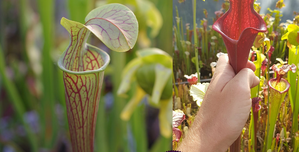115) Pack of Sarracenia seeds 2019/2020, carnivorous plants rare