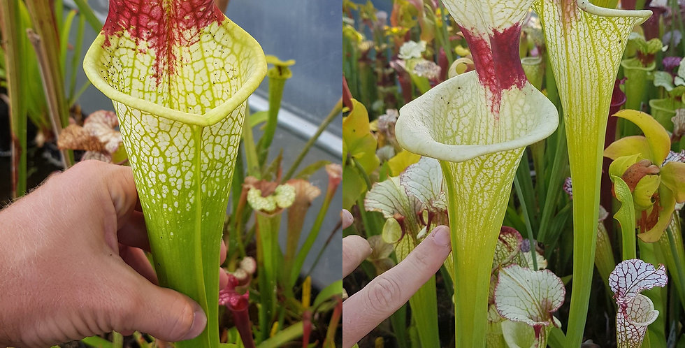 7) Pack of Sarracenia seeds 2019/2020, carnivorous plants rare