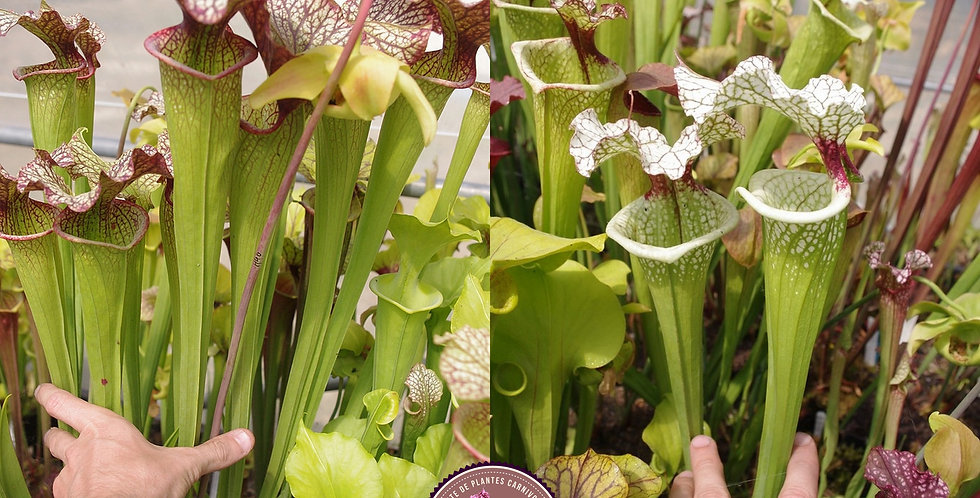 62) Pack of Sarracenia seeds 2019/2020, carnivorous plants rare