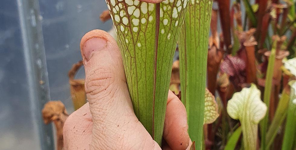 Leucophylla large lip x Brooks hybrid (DRH15)