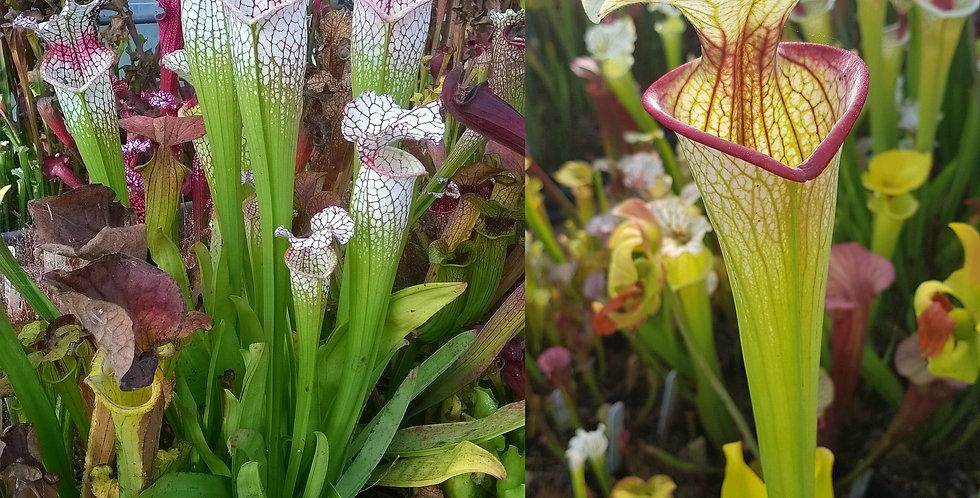 50) Pack of Sarracenia seeds 2019/2020, carnivorous plants rare