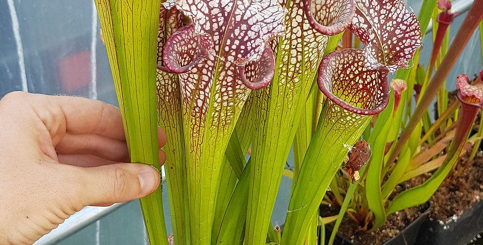 Sarracenia Leucophylla x Moorei 'Adrian Slack' clone D