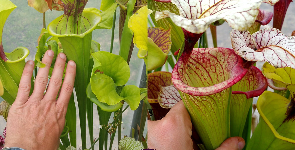 108) Pack of Sarracenia seeds 2019/2020, carnivorous plants rare