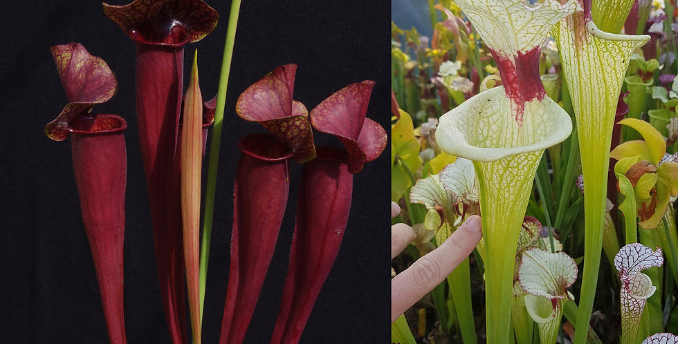 73) Pack of Sarracenia seeds 2019/2020, carnivorous plants rare