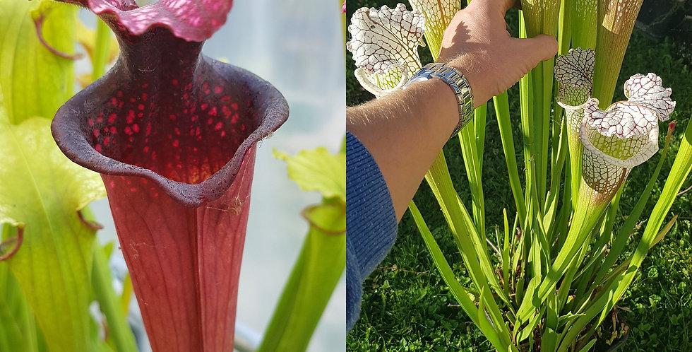 110) Pack of Sarracenia seeds 2020/2021