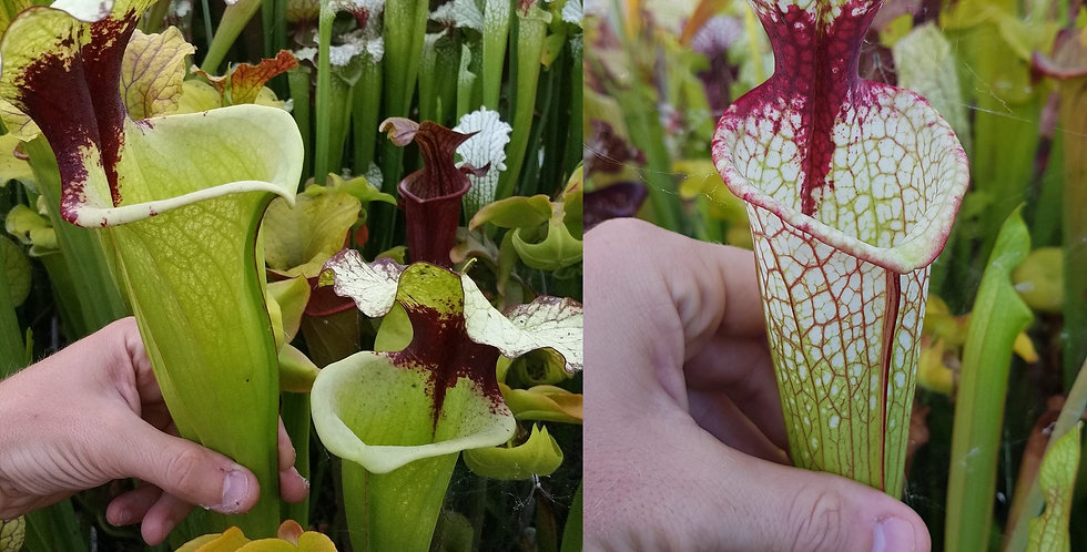 75) Pack of Sarracenia seeds 2019/2020, carnivorous plants rare