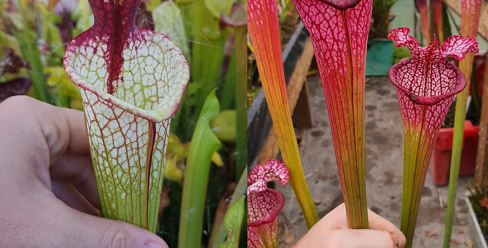 157) Pack of Sarracenia seeds 2020/2021