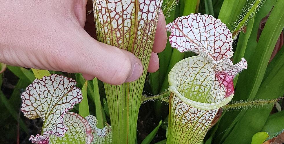 Leucophylla Walton, Cedric Azais