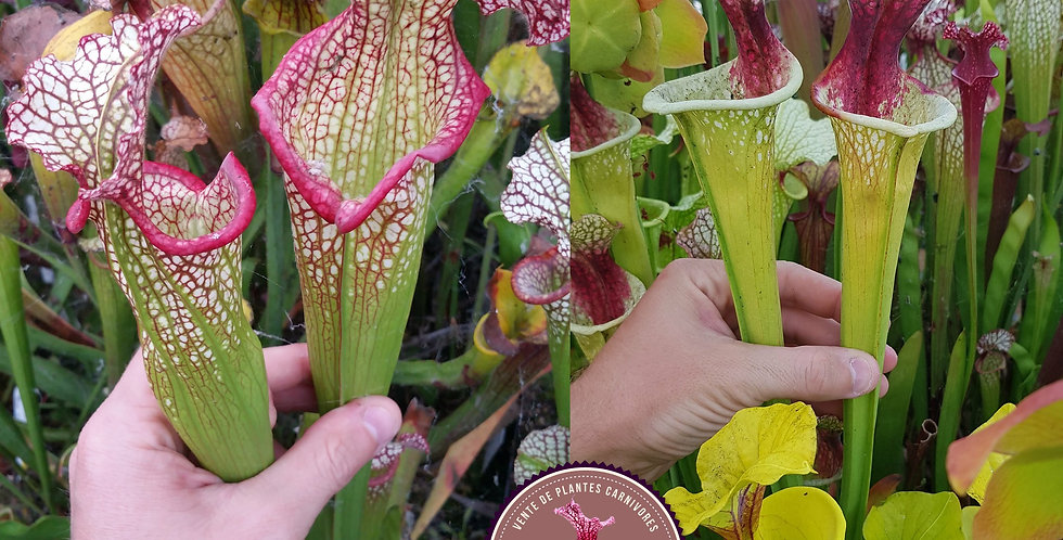 118) Pack of Sarracenia seeds 2020/2021