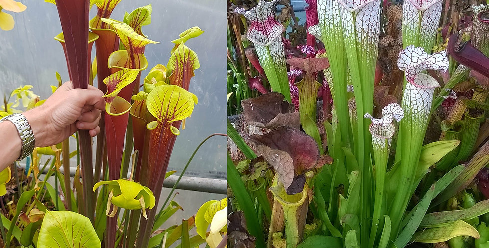 114) Pack of Sarracenia seeds 2019/2020, carnivorous plants rare