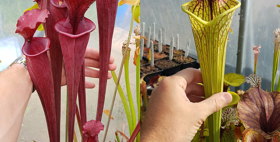 50) Pack of Sarracenia seeds 2020/2021