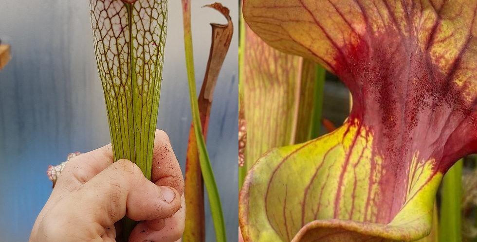 45) Pack of Sarracenia seeds 2020/2021