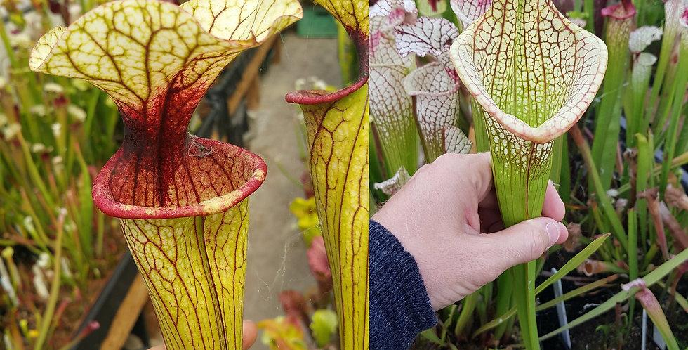 45) Pack of Sarracenia seeds 2019/2020, carnivorous plants rare