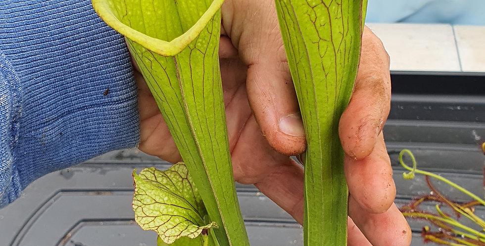 SA132 : Leucophylla Helmut's Delight x Flava rugelii F199 MK, clone 8