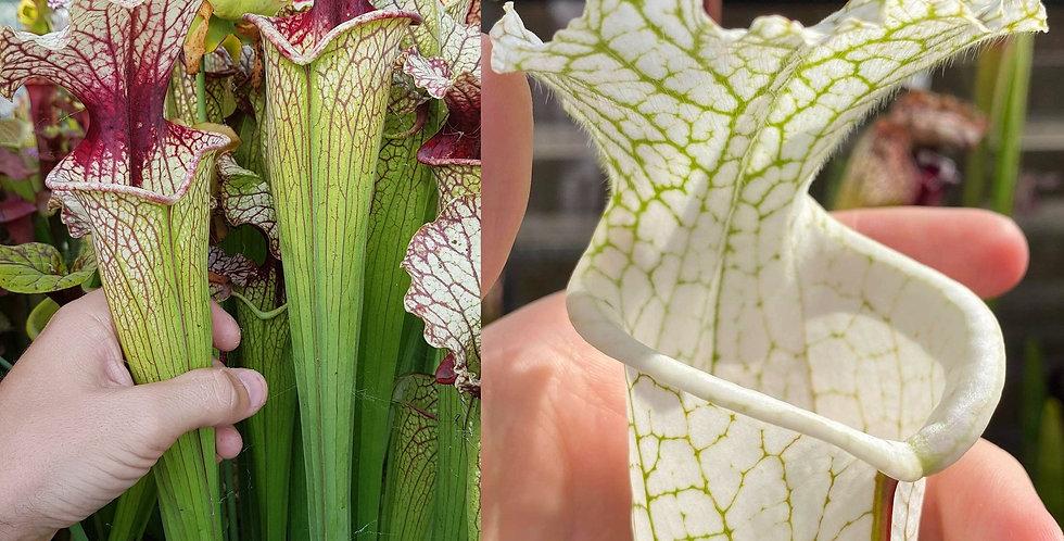 150) Pack of Sarracenia seeds 2020/2021