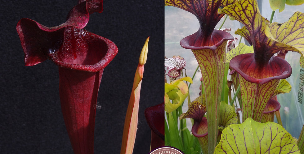 43) Pack of Sarracenia seeds 2020/2021