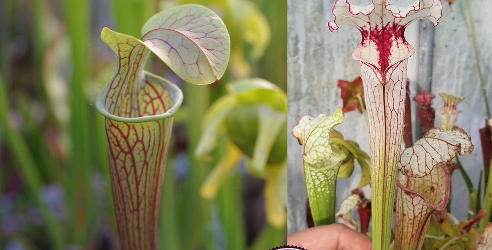 140) Pack of Sarracenia seeds 2020/2021