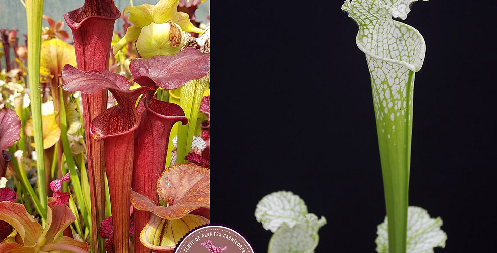 121) Pack of Sarracenia seeds 2020/2021