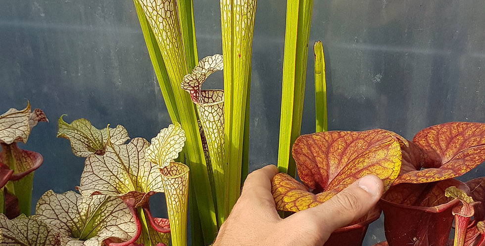 Leucophylla x Moorei red very large (OBH13)
