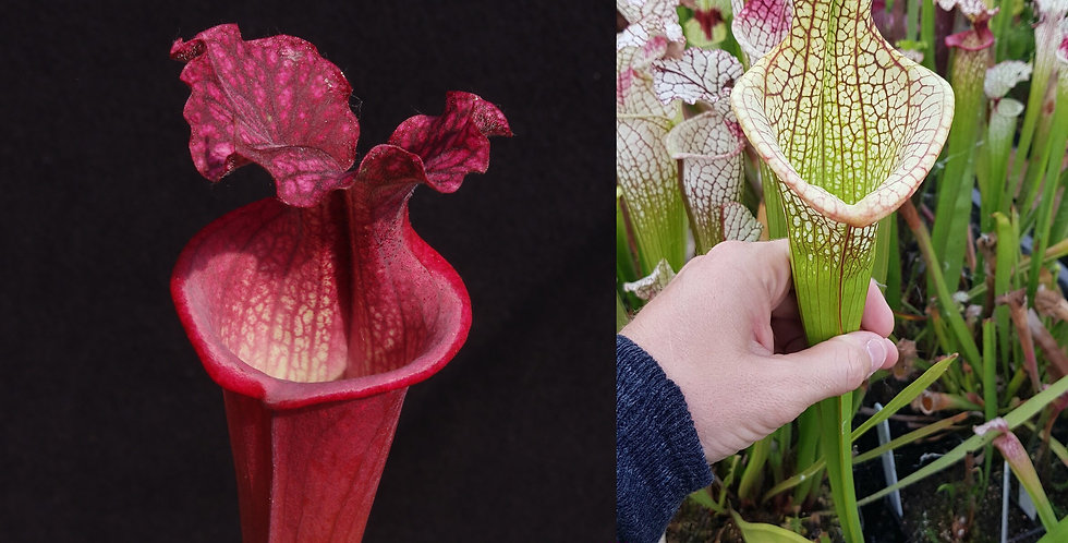 140) Pack of Sarracenia seeds 2019/2020, carnivorous plants rare