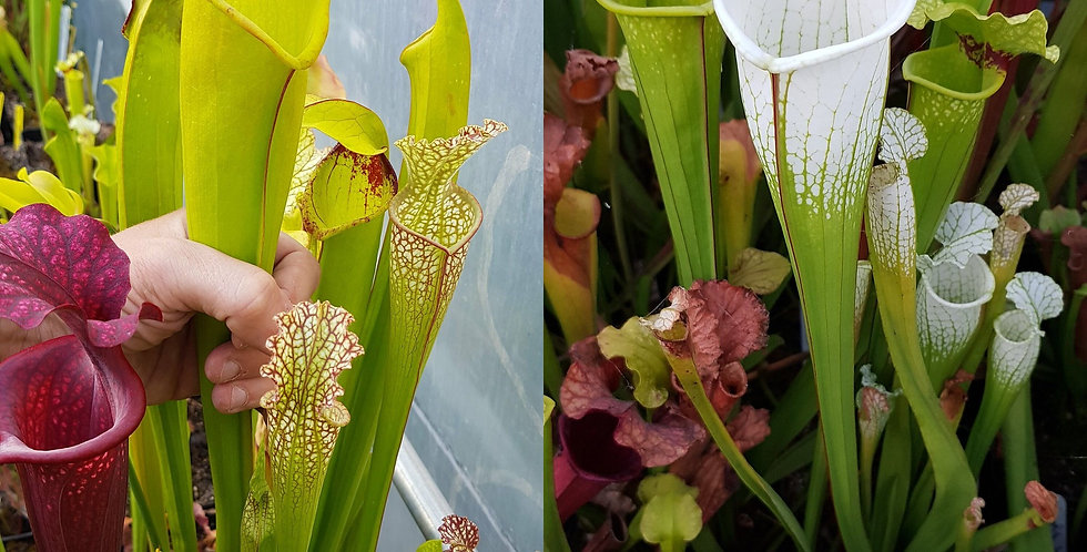 159) Pack of Sarracenia seeds 2020/2021