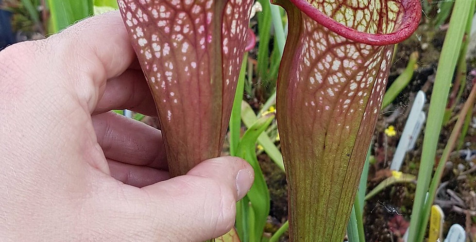 Moorei Wilkerson's white knight x Wilkerson's red (OBH10)