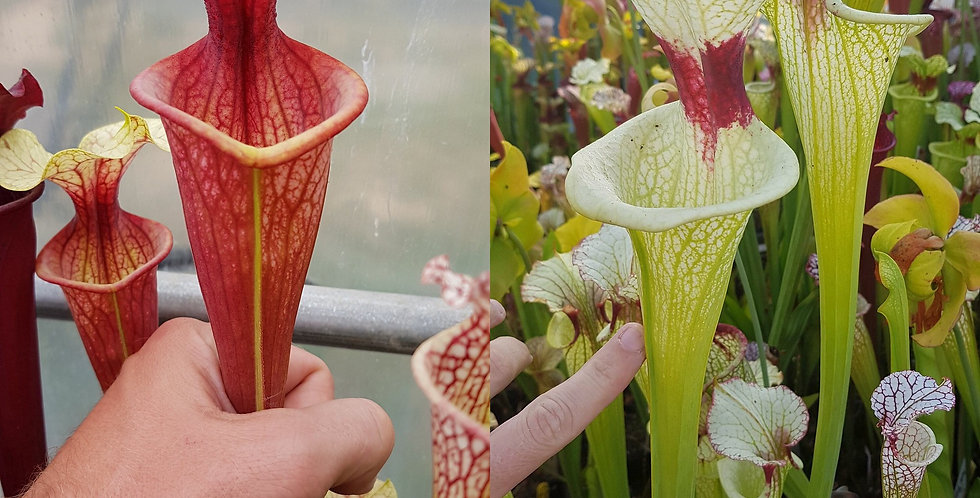 89) Pack of Sarracenia seeds 2020/2021
