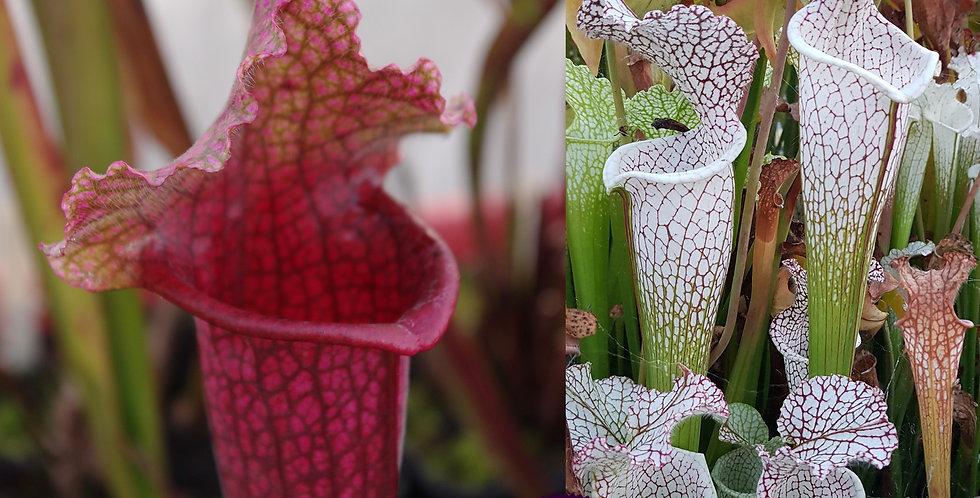 64) Pack of Sarracenia seeds 2019/2020, carnivorous plants rare
