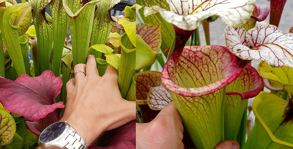 126) Pack of Sarracenia seeds 2019/2020, carnivorous plants rare