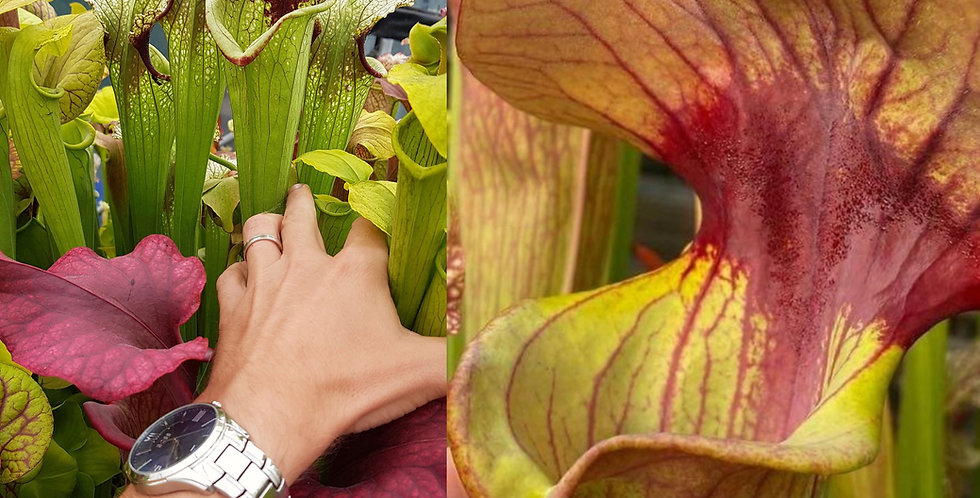 143) Pack of Sarracenia seeds 2020/2021