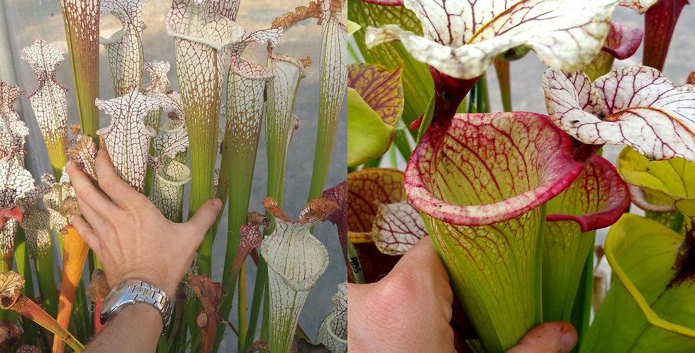 78) Pack of Sarracenia seeds 2019/2020, carnivorous plants rare