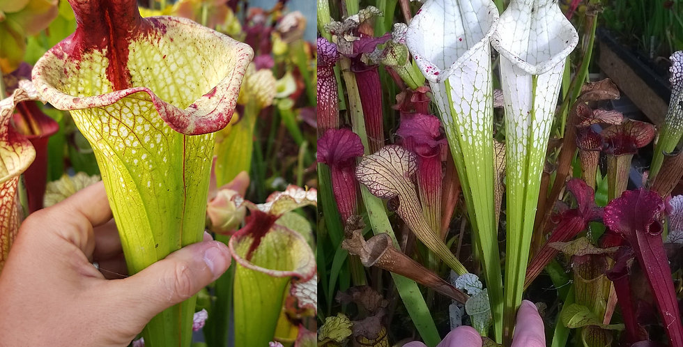 103) Pack of Sarracenia seeds 2019/2020, carnivorous plants rare