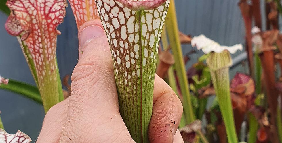 SA92 : Sarracenia issu de mix de graines